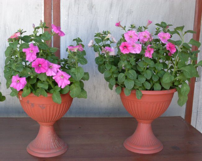 Розовые петунии на улице в пластиковых горшках на подставках