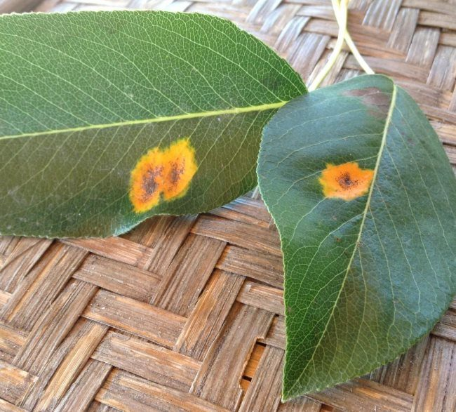 Ржавые пятна светло-коричневого цвета на зеленых листьях груши