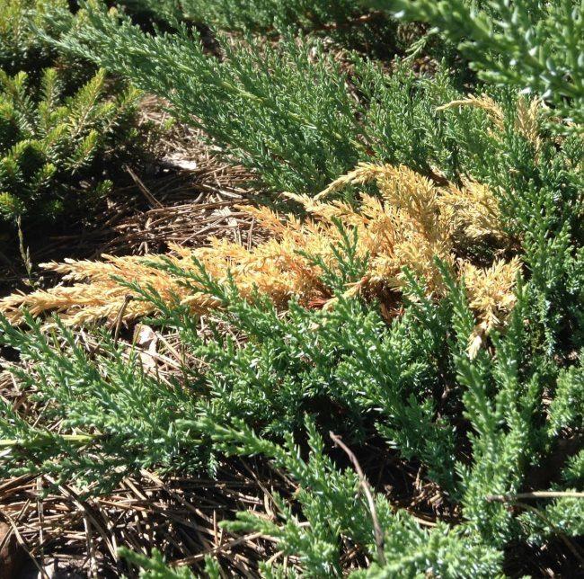 Проявление ржавчины груши на кусту казацкого можжевельника