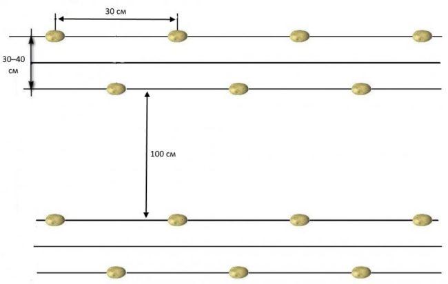 Схема с указанием правильного расстояния между кустами картошки