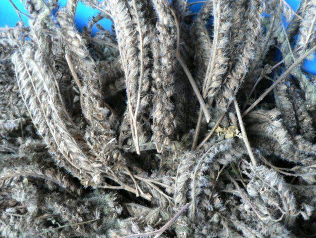 Созревшие колоски с семенами фацелии однолетней для посадки на частном участке
