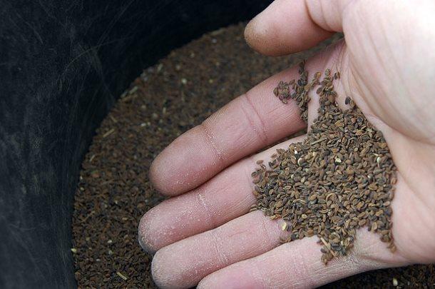 Качественные семена фацелии пижмолистной на ладони фермера
