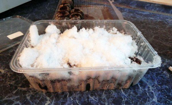 Стратификация семян клубники с помощью снега в домашних условиях