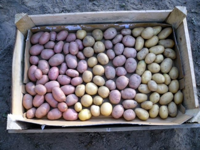 Деревянный ящик с отобранным семенным картофелем на просушивании