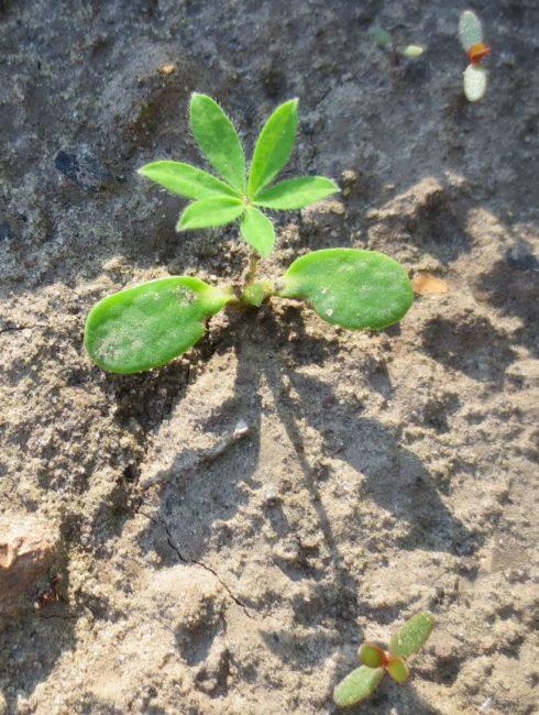 Первые всходы люпина высаженного в качестве сидерата на бедной почве