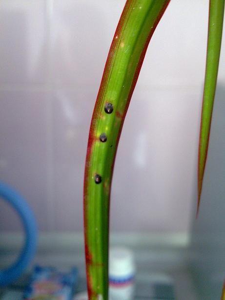 Щитовка пальмовая на узком листе драцены в домашних условиях