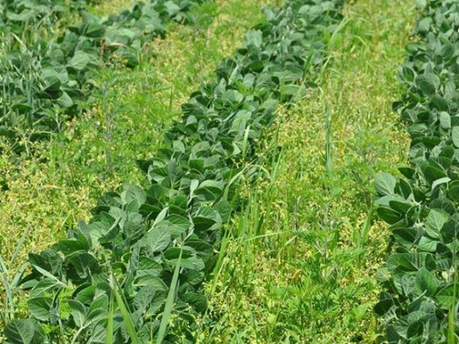Посев сидератов в июне между грядками с поздней капустой