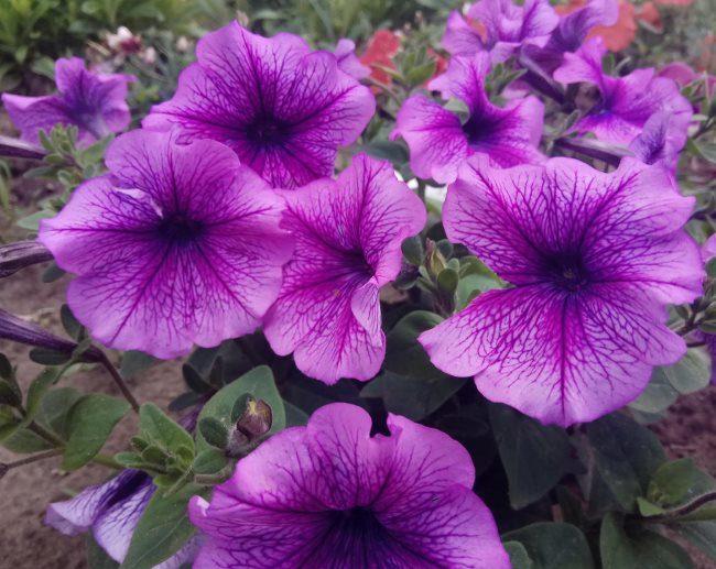 Крупные сиреневые цветки садовой петунии сорта Варвара Краса F1