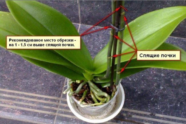 Схема обрезки домашней орхидеи после окончания цветения
