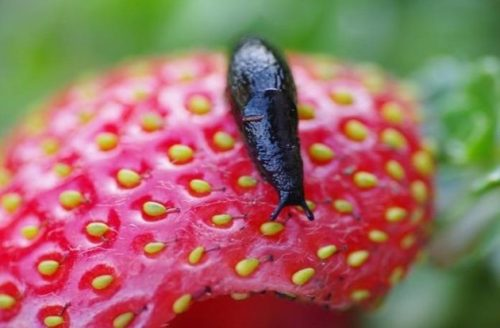 Черный слизень на красной ягоде ремонтантной клубники