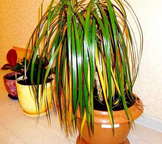 Сухие листья на кусту драцены при низкой влажности воздуха в комнате