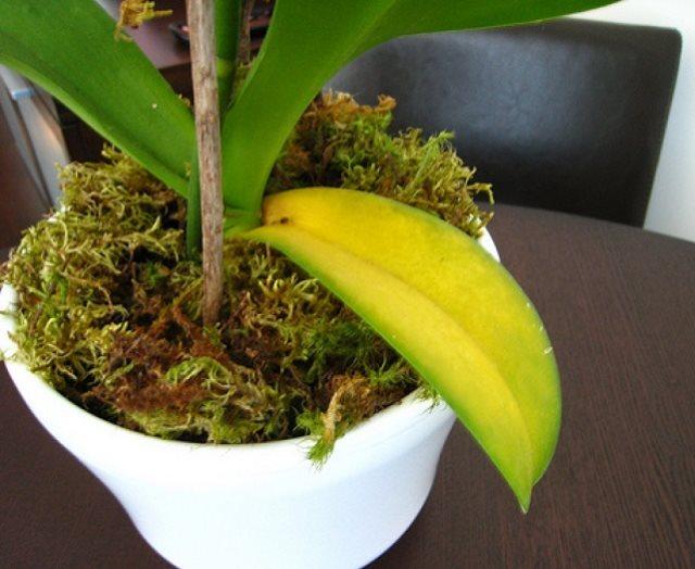 Пожелтение старого листа на кусту домашней орхидеи в зимний период
