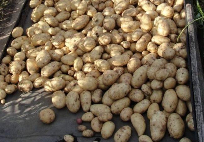 Сушка выкопанного осенью картофеля в тени деревянного навеса