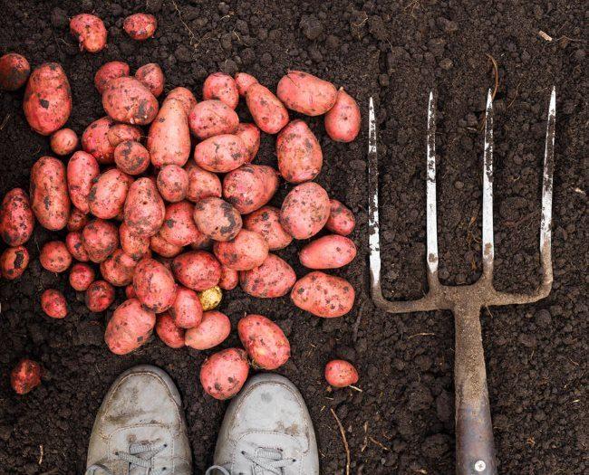 Молодая картошка с розовой кожицей после выкапывания садовыми вилами