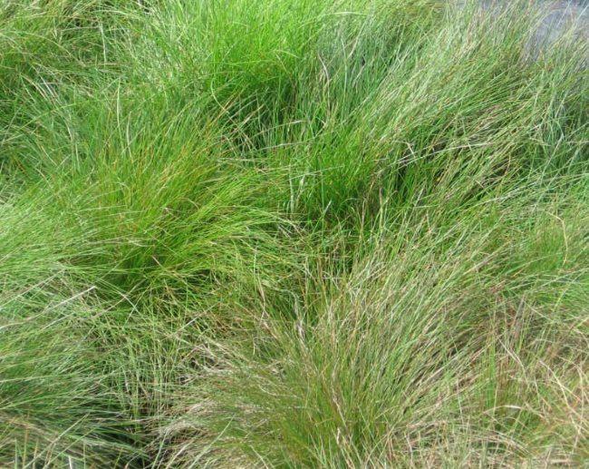 Выращивание овсяницы как сидерата на дачном участке
