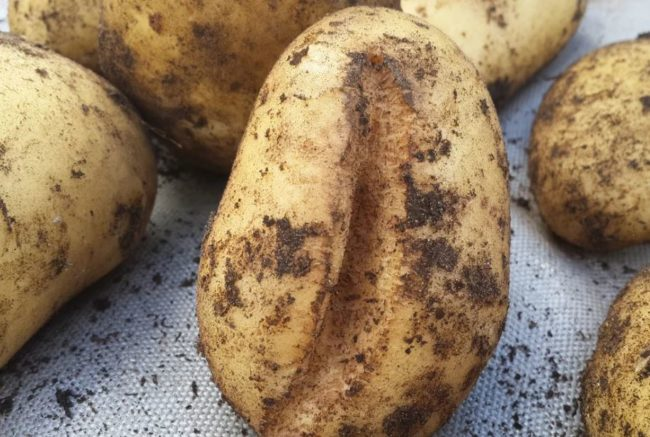 Крупная трещина на плоде картофеля при переизбытке влаги в земле