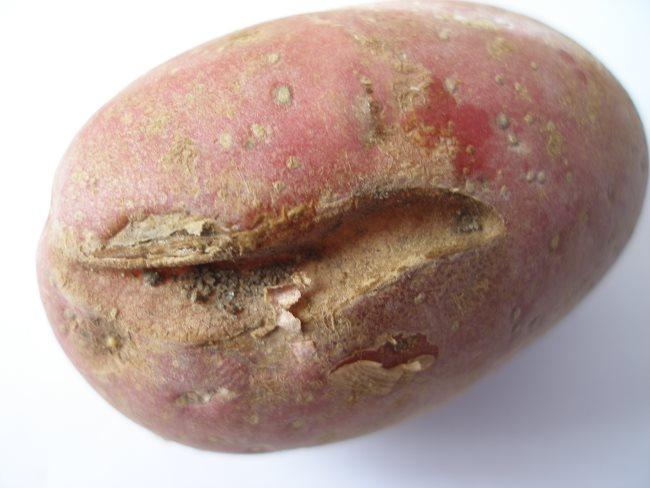Розовый клубень картошки с поверхностной трещиной небольшой глубины