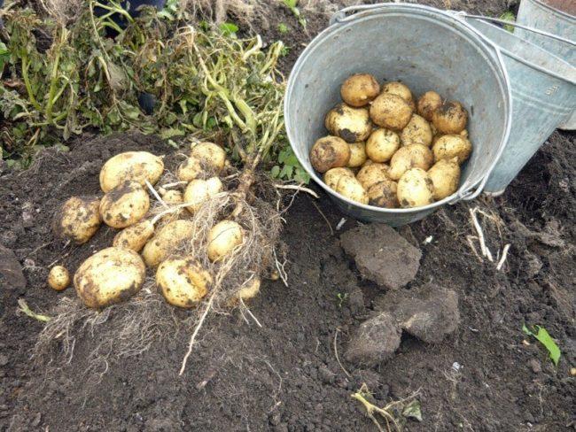 Копка белого сорта картошки в средней полосе России в середине августа
