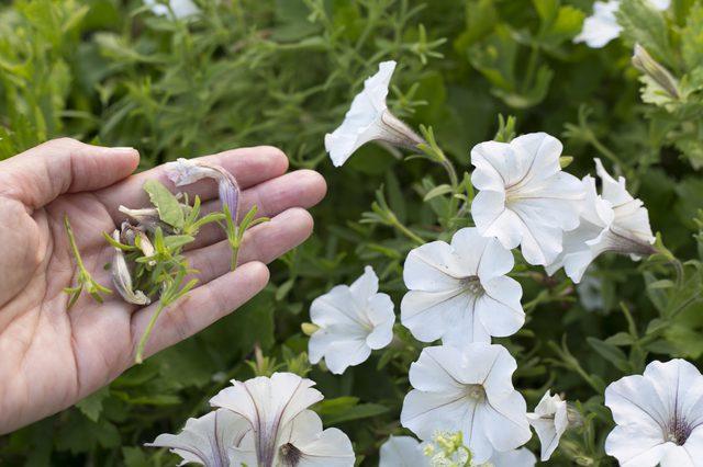 Удаление старых бутон с пышно цветущего куста петунии
