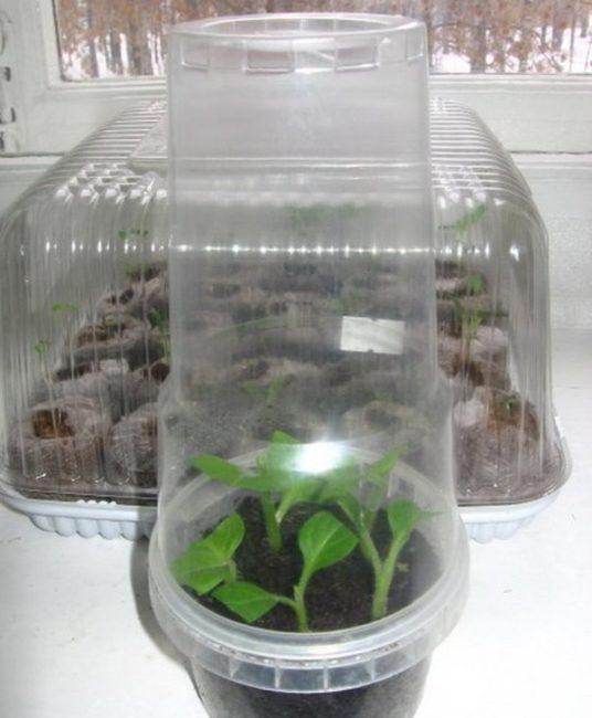 Прозрачный стакан из пластика на емкости с черенками петунии