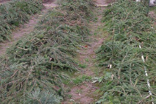 Использование еловых веток для укрытия клубники на зиму