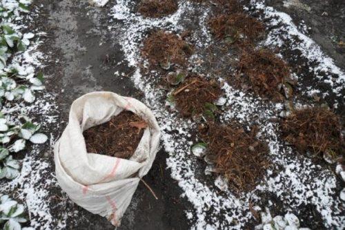 Засыпка кустиков клубники листовым перегноем перед наступлением зимних холодов