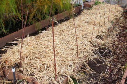Зимнее укрытие грядки с клубникой обыкновенной соломой