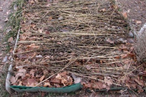 Укрытие садовой клубники опавшими листьями в осенний период