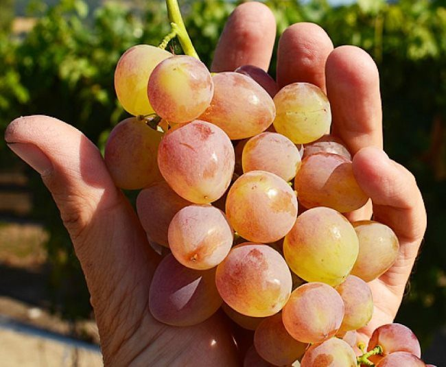 Гроздь винограда кишмиш с ягодами розово-зеленого оттенка