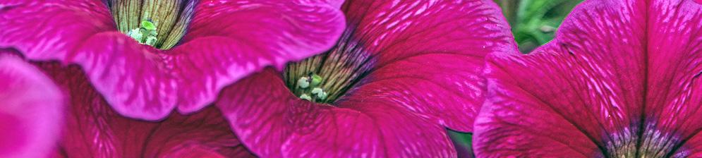 Яркий цвет петунии вблизи цветки