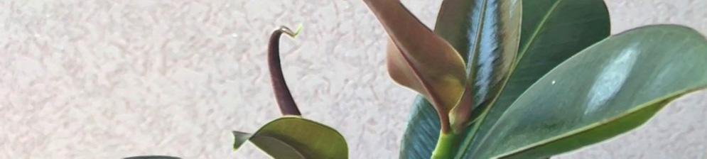 Засохшие листья на фикусе каучуконосном надо обрезать