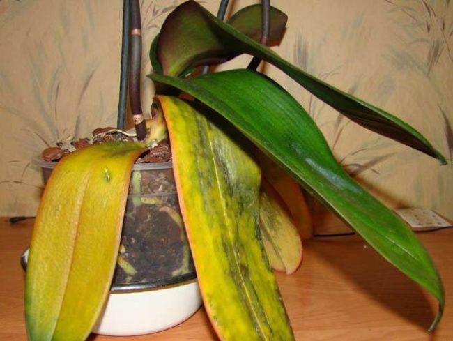 Увядание и пожелтения листьев орхидеи при неправильном уходе за цветком