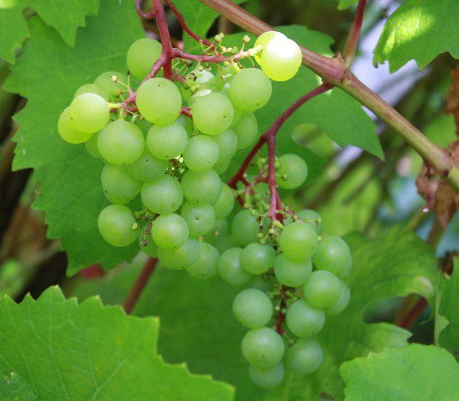 Грозди винограда с зелеными плодами на однолетней ветки
