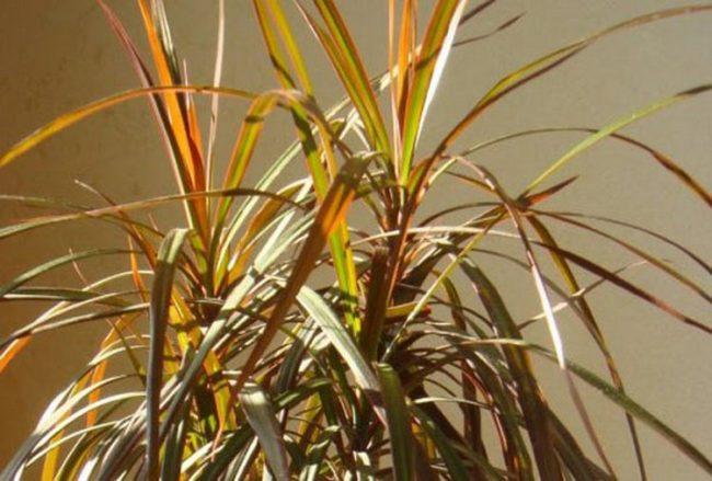 Подсыхание листьев на макушке комнатной драцены в летний период