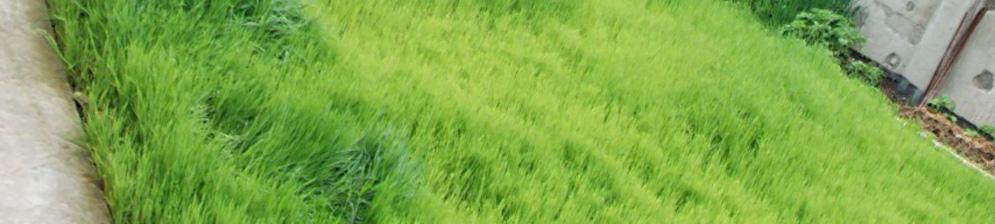 Обильная засадка участка злаковыми сидератами