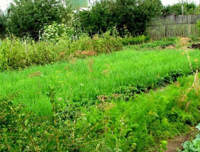 Выращивание злаковых сидератов на месте произрастания картошки
