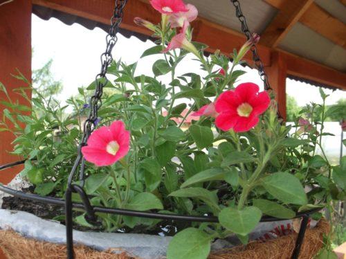 Красно-розовые цветки петунии в подвесном кашпо