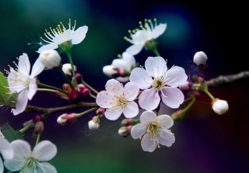 Белые цветки вишни на ветке деревца сорта Свердловчанка