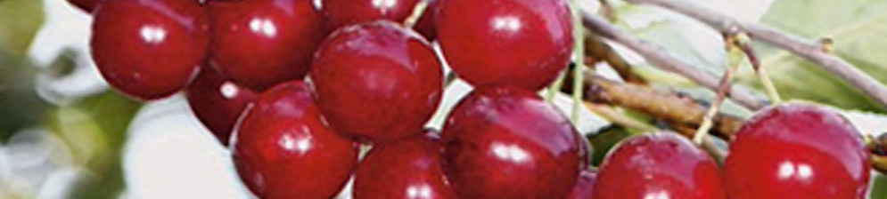 Плоды вишни сорта Богатырка на ветке дозревают
