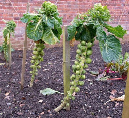 Выращивание капусты брюссельской на деревянных колышках