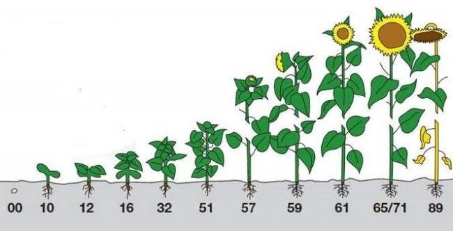 Схема развития подсолнечника при выращивании в открытом грунте