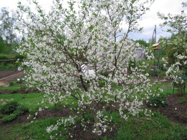Цветущий куст вишни среднего роста на территории дачного участка