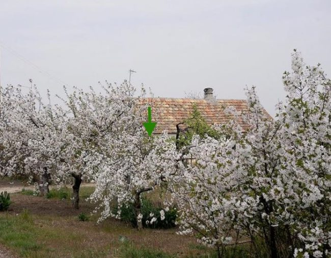 Цветение невысокой кустовой вишни в саду приусадебного участка