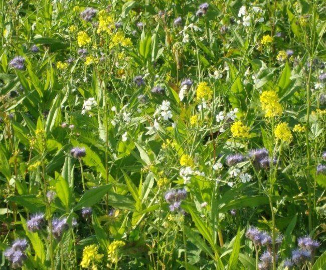 Цветение сидератных растений на садовом участке в середине лета