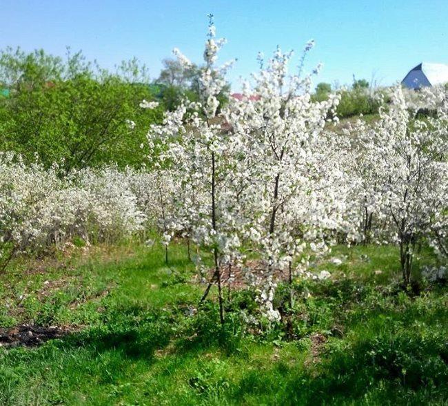 Цветение молодых деревьев вишни на окраине дачного поселка