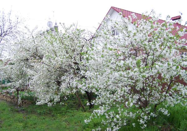 Плодовой сад на даче во время цветения вишневых деревьев