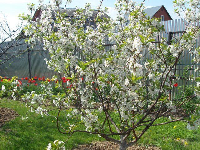 Весеннее цветение куста вишни с компактной шарообразной кроной