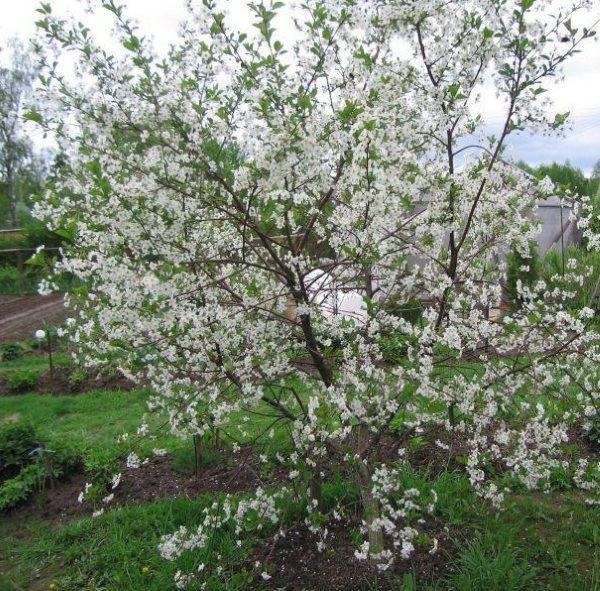 Обильное цветение вишневого деревца на загородном участке Центрального региона