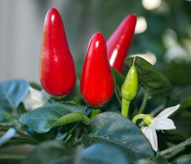 Красные плоды и белый цветок на кустике горького перца в домашних условиях