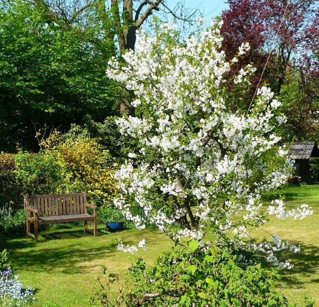 Обильное цветение вишни сорта Расторгуевская в середине весны